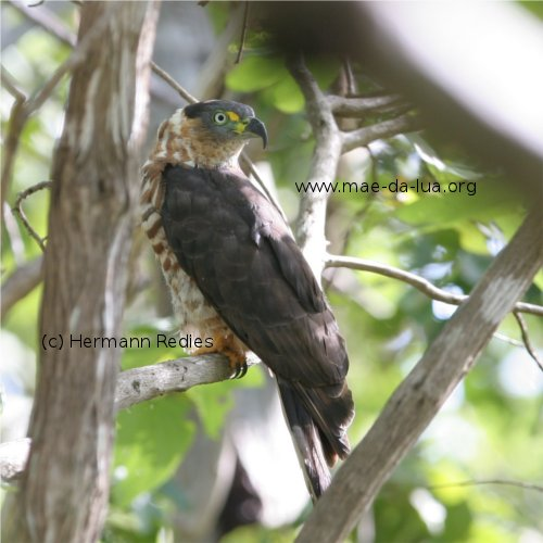 Hook-billed Kite Chondrohierax uncinatus, female