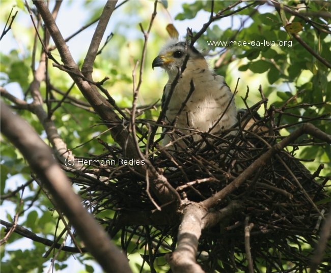 Hook-billed Kite Chondrohierax uncinatus, nest with two young birds
