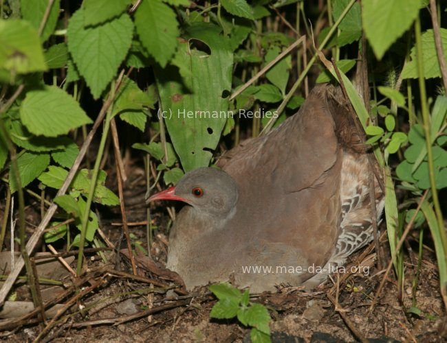 Small-billed Tinamou (Crypturellus parvirostris)