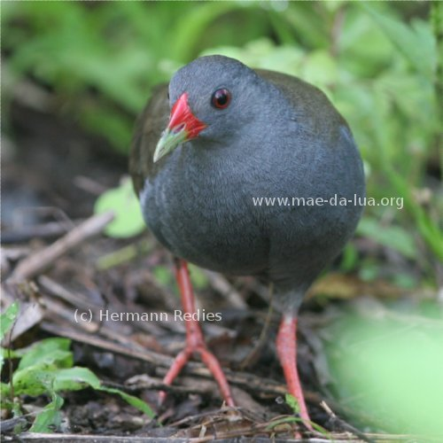 Paint-billed Crake (Neocrex erythrops)